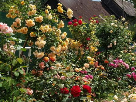 Как обустроить розарий на даче