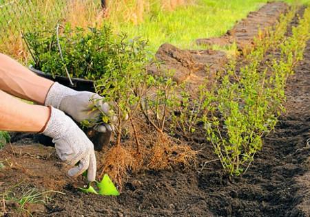 Живая изгородь своими руками- из каких растений лучше сделать